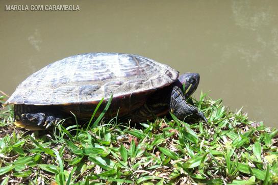 Lago zulai tartaruga