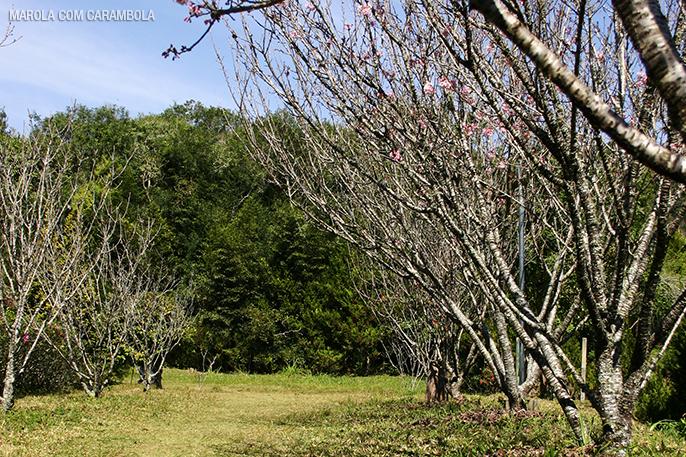 Cerejeiras começando a florir