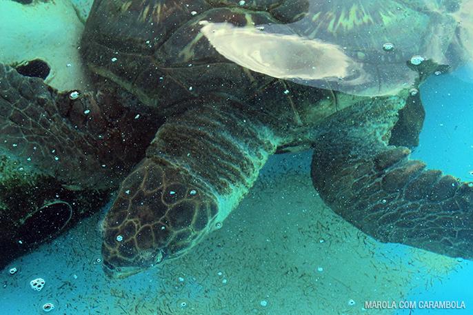 Tartaruga em proteção no projeto