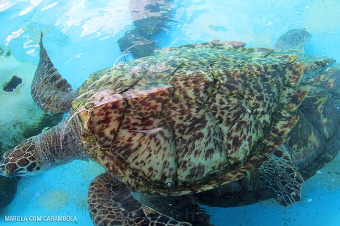 Mais uma tartaruga no tanque