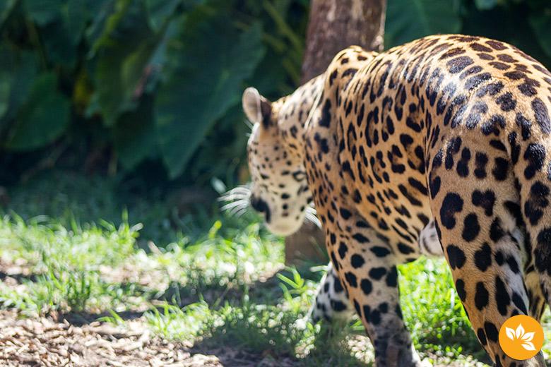 Tigre no ZooGramado