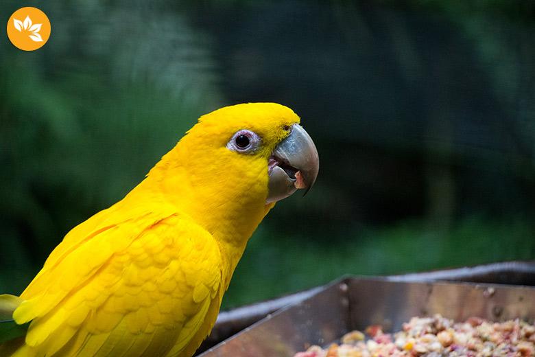 Parque das Aves em Foz do Iguaçu - Amarelinho