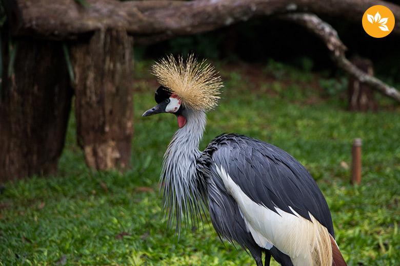 Parque das Aves em Foz do Iguaçu - Cabelinho