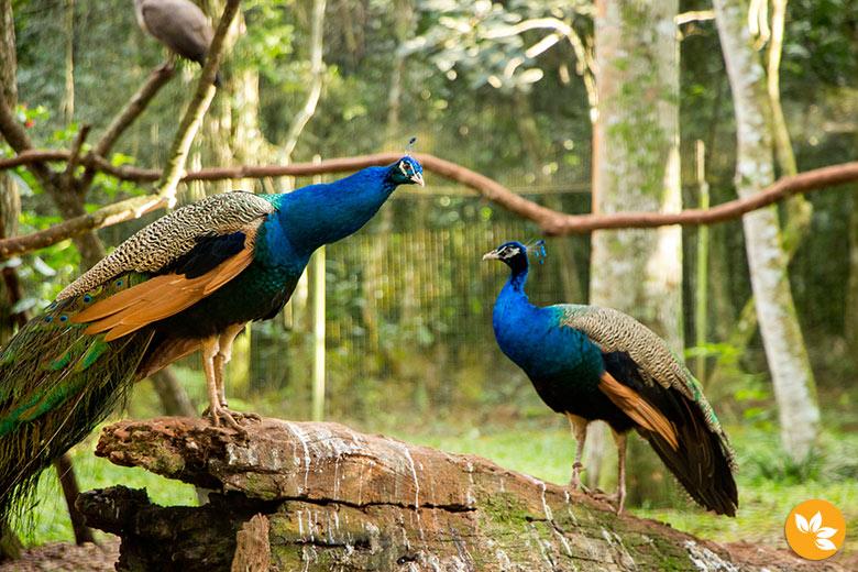 Pavão - Parque das Aves