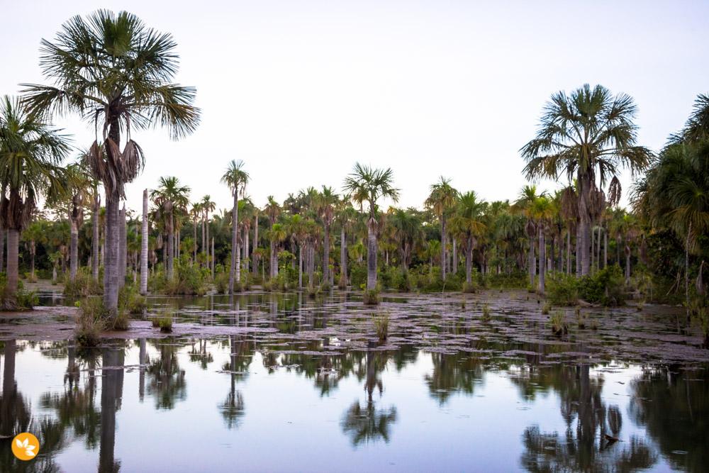 Buritis - espécie de palmeira da região